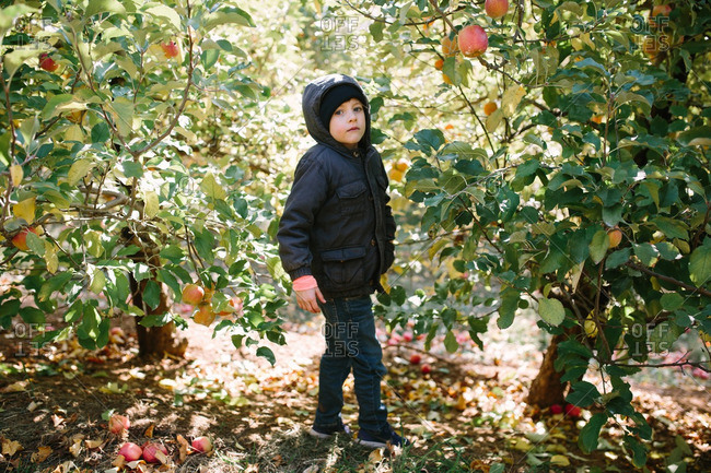 Young boy walking in an apple orchard