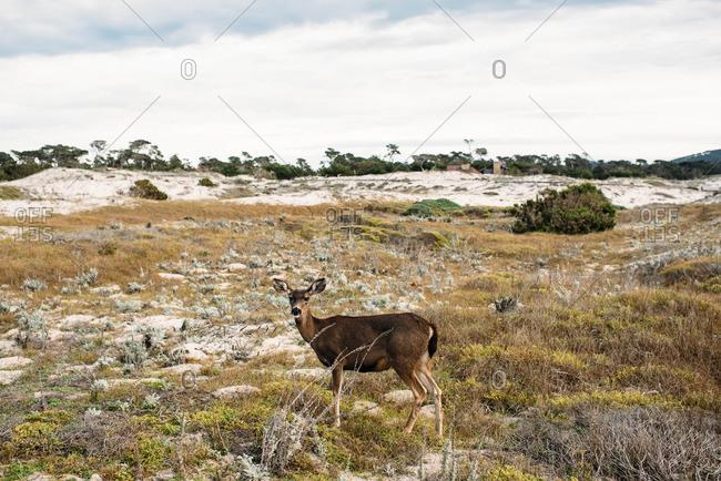 Deer standing in a field near the beach in Pebble Beach, California