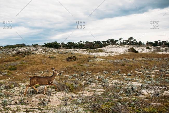 Deer in a field near the beach in Pebble Beach, California