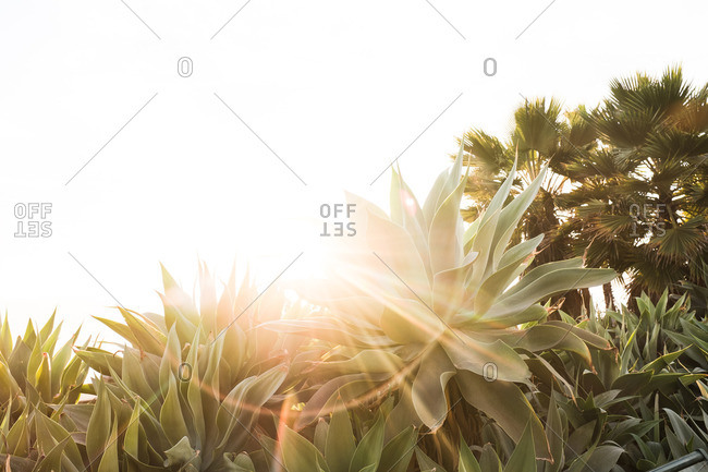 Agave Attenuata with sun flare