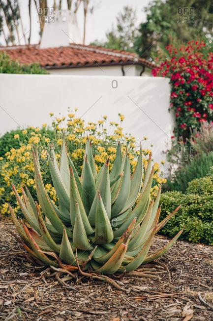 Succulent in flower garden