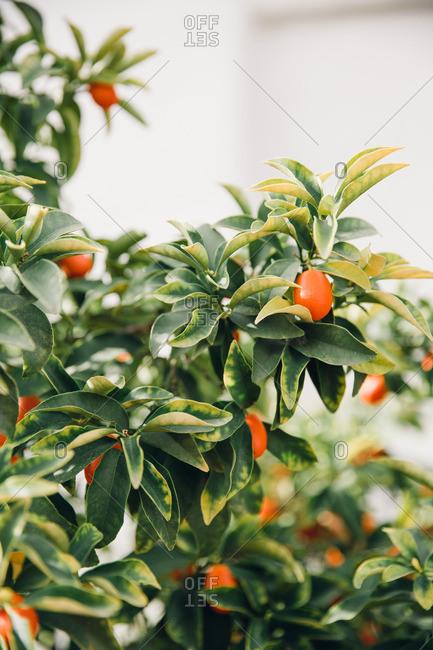Detail of kumquat tree