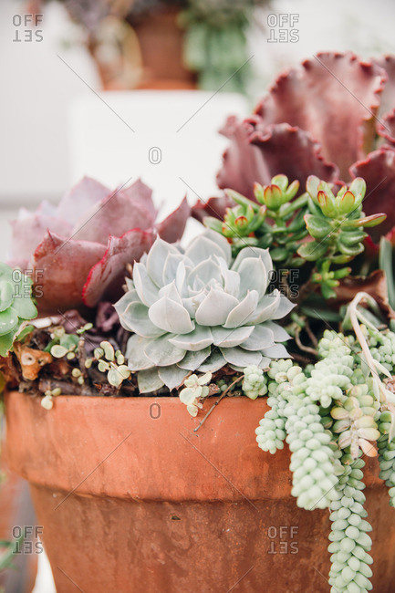 Terracotta pot with succulents