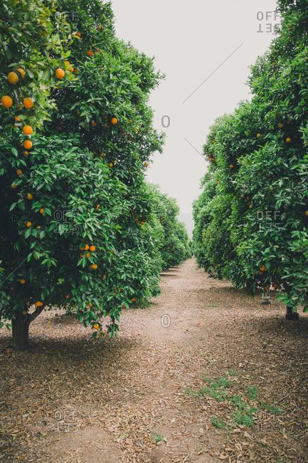Orange trees in grove