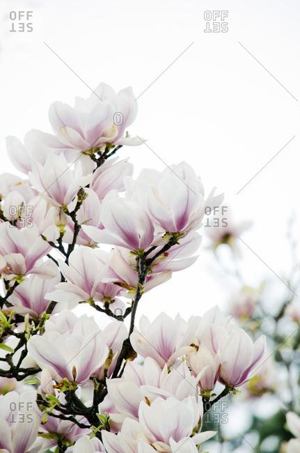 Beautiful magnolia tree in springtime