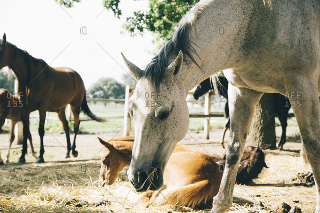Mares and their young foals on horse farm in summer