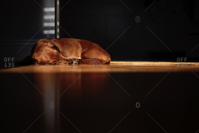 Dog taking a nap on the floor in a patch of light