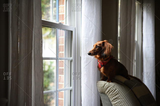 Dachshund in a red bandana on a chair looking out a window