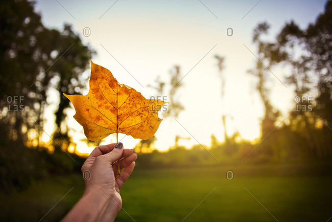 Hand of a woman holding an orange leaf at sunset
