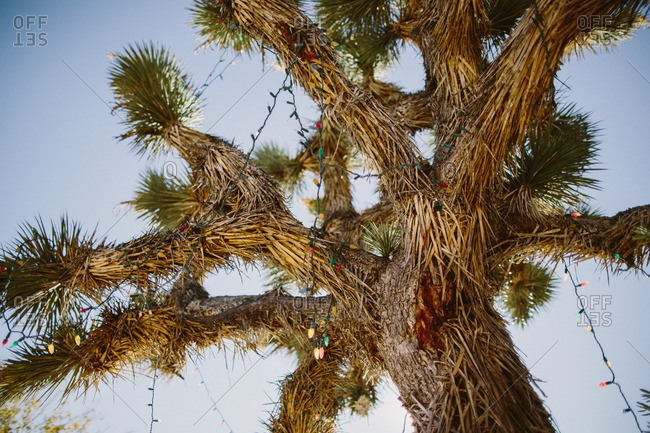 Low angle view of a Joshua tree decorated with Christmas lights