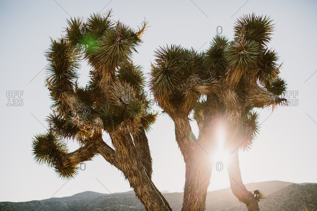 Sun rising behind Joshua trees in California