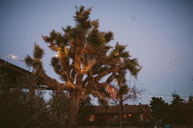 Joshua tree with illuminated Christmas lights