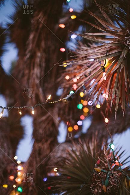 Close up of  illuminated Christmas lights on a Joshua tree