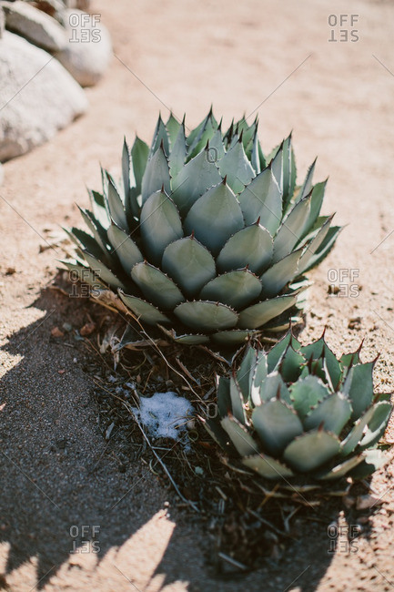 Agave plants in the desert