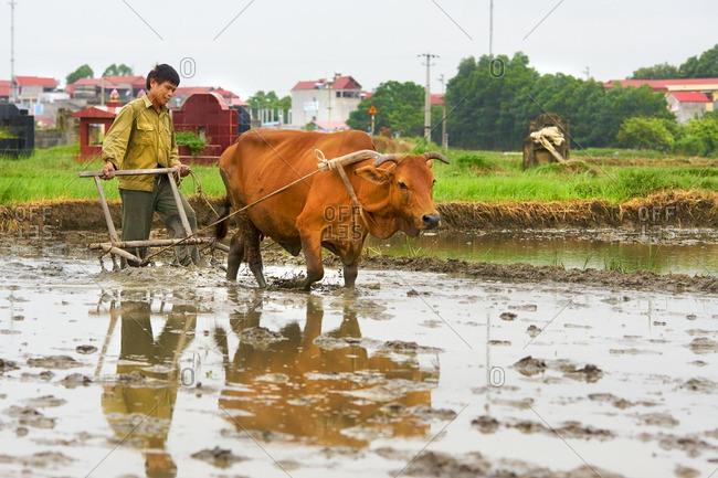 Hanoi, Vietnam - July 19, 2016: Farmer tilling his flooded rice paddy
