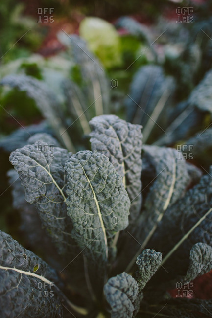 Close up of kale in a garden