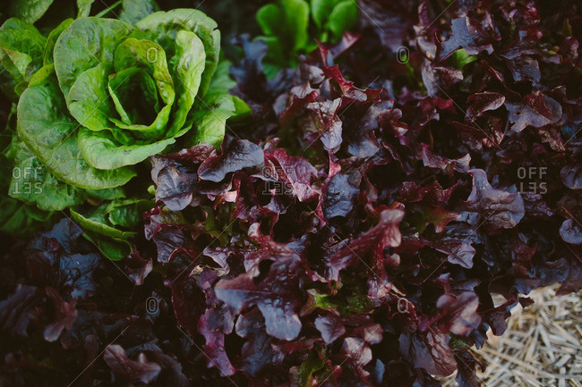Close up of lettuce in a garden