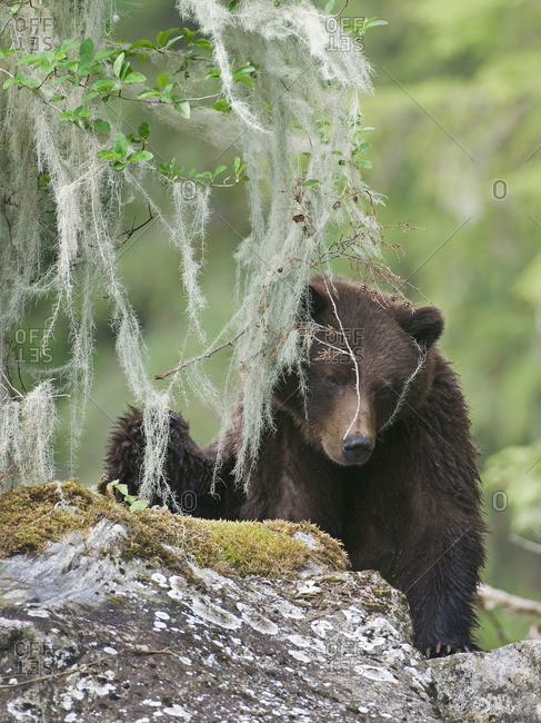 A female Grizzly (ursus Arctos) relaxes while peaking through lichen in the Khutzeymateen protected Grizzly preserve, North of Prince Rupert, North coast of British Columbia, Canada