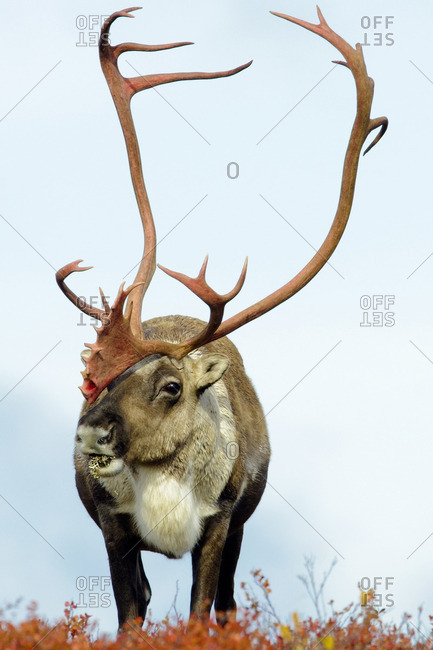 Barren ground caribou bull (Rangifer tarandus), Barren lands, central Northwest Territories, Arctic Canada