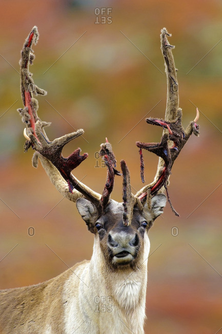 Barren ground caribou bull (Rangifer tarandus) shedding its antler velvet prior to the autumn rutting season, Barren lands, central Northwest Territories, Arctic Canada
