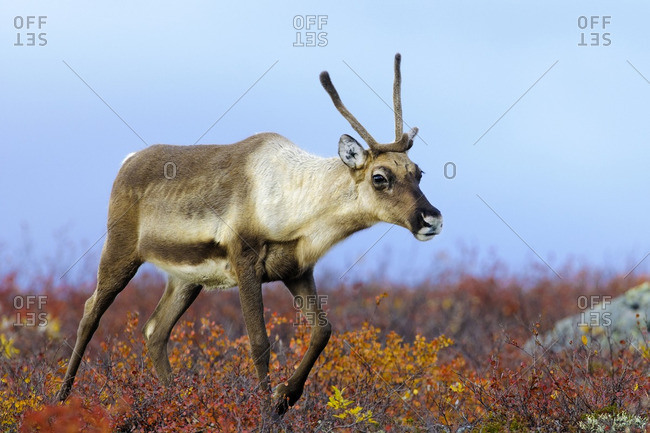 Barren ground caribou cow (Rangifer tarandus) on the autumn tundra prior to winter migration, Barren lands, central Northwest Territories, Arctic Canada