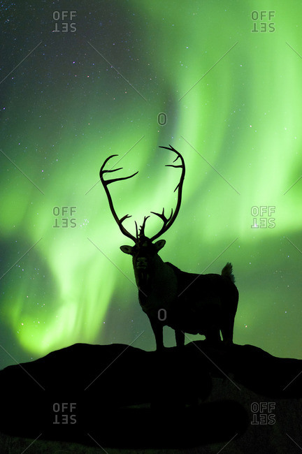 Caribou bull (Rangifer tarandus) silhouetted against the northern lights, Barren lands, central Northwest Territories, Arctic Canada