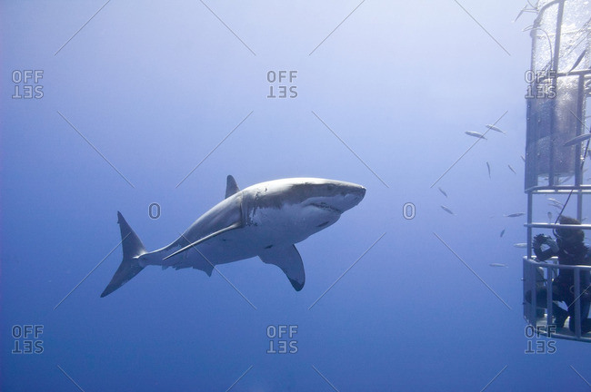 Cage-diving for great white sharks (Carcharodon carcharias), Isla Guadalupe, Baja, Mexico
