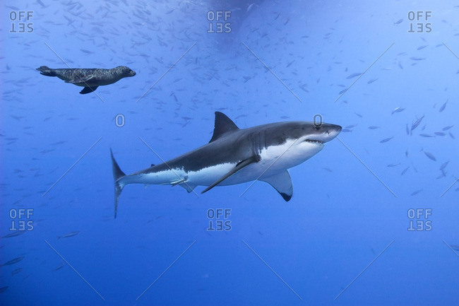Great white shark (Carcharodon carcharias), being harassed by a juvenile California sea lion (Zalophus californianus), Isla Guadalupe, Baja, Mexico