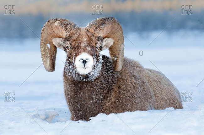 Bighorn sheep ram (Ovis canadensis), with frost-covered muzzle at -28C, Jasper National Park, Alberta, Canada