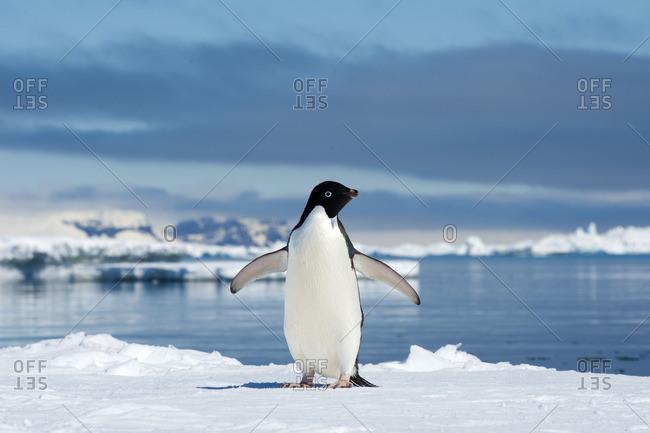 Adelie penguin (Pygoscelis adeliae) loafing by the ice edge, Petrel island, Antarctic Peninsula