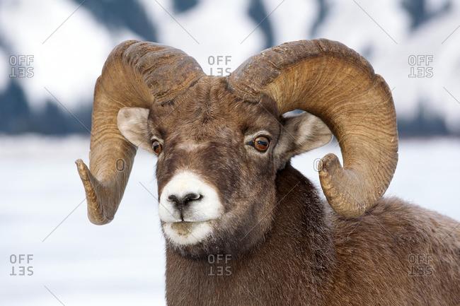 Bighorn sheep ram (Ovis canadensis), Jasper National Park, Alberta, Canada