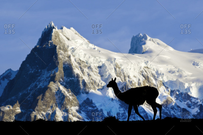 Adult guanaco (Lama guanicoe), Torres Del Paine National Park, Patagonia, southern Chile, South America