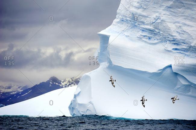 Pintado petrels (Daption capense), soaring past a grounded iceberg, Island of South Georgia, Antarctica