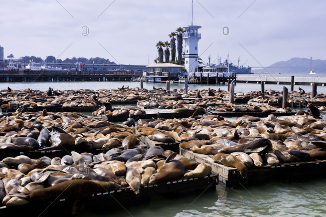San Francisco, California - February 26, 2009: Sea Lions at Fisherman's Wharf