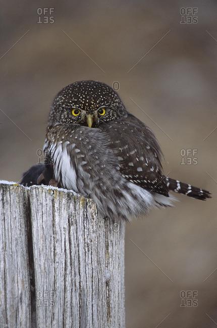 Northern Pygmy Owl, Gluacidium gnoma gnoma, Lillooet, BC, Canada