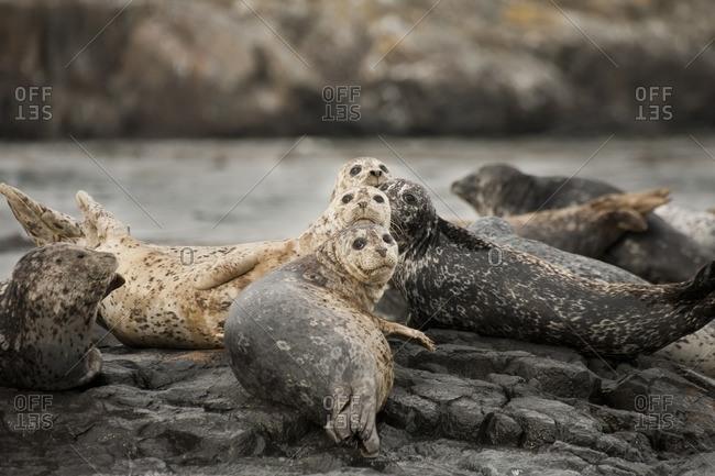 Harbor Seal, Phoca vitulina, Race Rocks, Victoria, BC, Canada