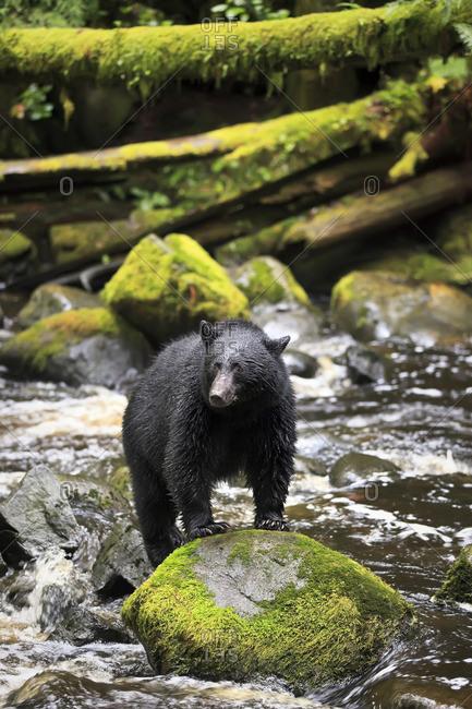 American Black Bear (Ursus americanus), Thornton Creek, Vancouver Island, British Columbia, Canada