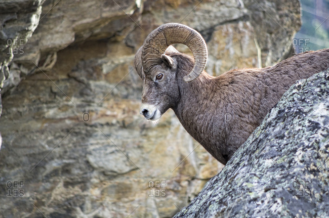 Big Horn Sheep, Ovis canadensis