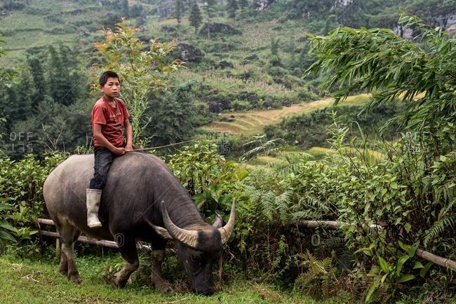 Mu Cang Chai, Vietnam - January 13, 2017: Vietnamese boy riding an ox while pasturing it.