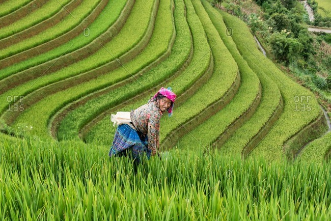 Mu Cang Chai, Vietnam - January 13, 2017: Vietnamese woman standing in the field while harvesting.