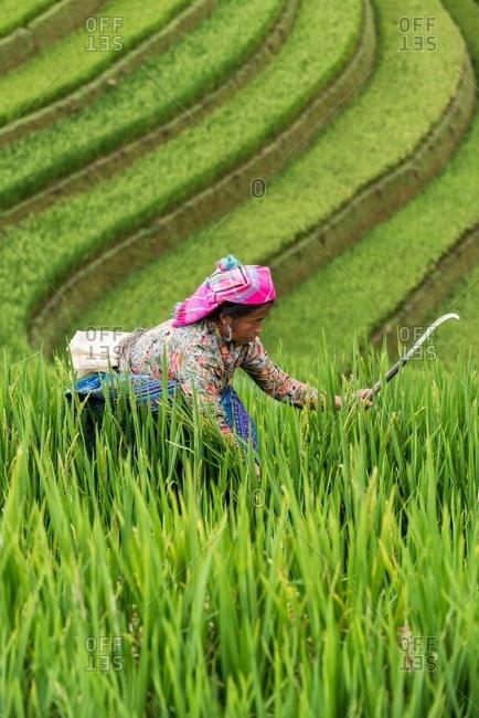 Mu Cang Chai, Vietnam - January 13, 2017: Adult Vietnamese�woman harvesting in the field.