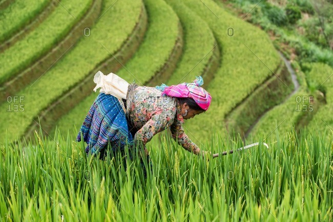 Mu Cang Chai, Vietnam - January 13, 2017: Adult Vietnamese�woman harvesting in the field.