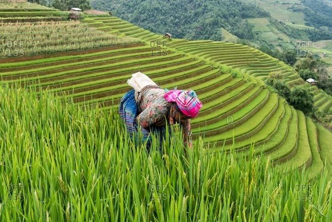 Mu Cang Chai, Vietnam - January 13, 2017: Bend Vietnamese woman hardworking in the field.