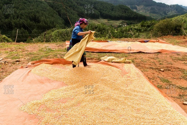 Mu Cang Chai, Vietnam - January 13, 2017: Woman working with the grain in the field.