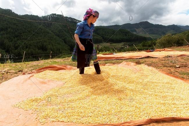 Mu Cang Chai, Vietnam - January 13, 2017: Woman scraping the grain for drying.