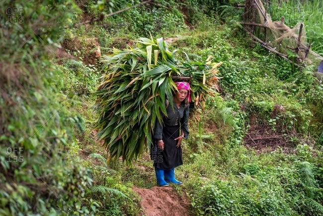 Mu Cang Chai, Vietnam - January 13, 2017: Woman climbing up to the hill carrying basket on her back