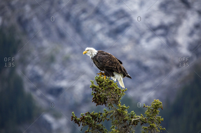 Spreaded Wings Bald Eagle Standing on a Branch in Water Globe
