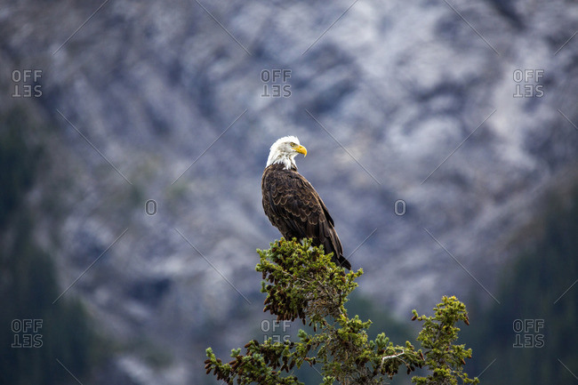 Bald eagle standing on tree branch