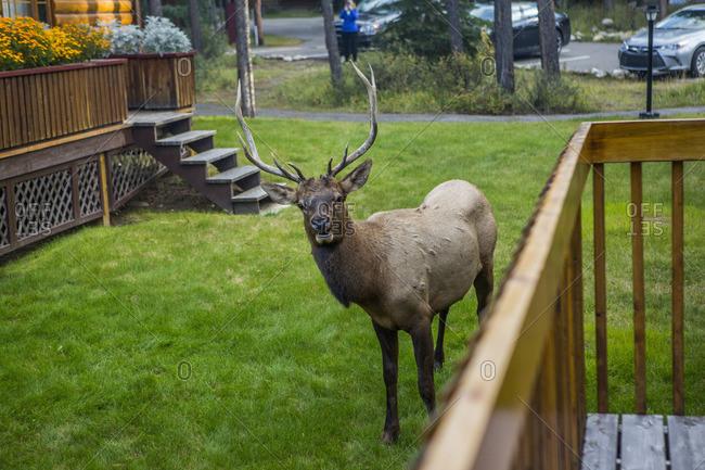 Elk standing near porch