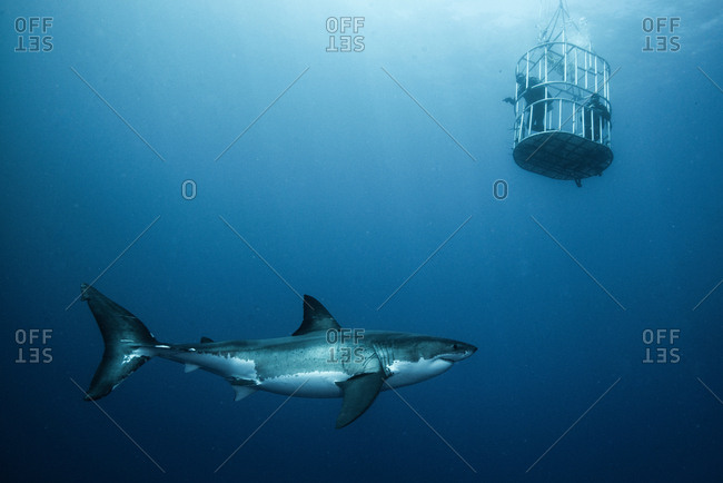 Great shark investigating cage divers, Guadalupe Island, Mexico